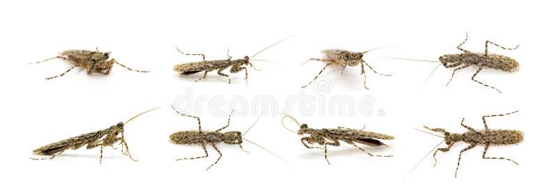 Group of Camouflaged bark mantis Liturgusa sp. on white background. Insect. Animal royalty free stock image