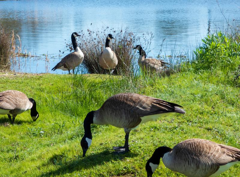 Group of Canada Geese feeding by river stock photos