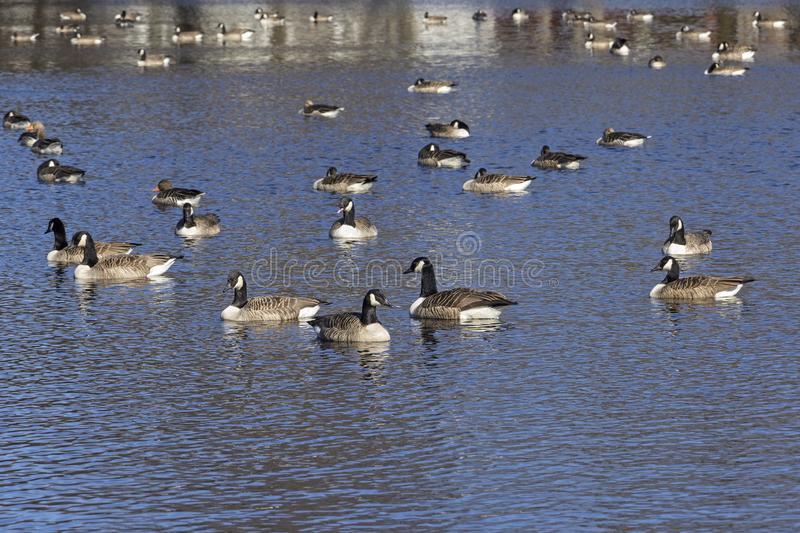 Group of Canada geeses are swimming royalty free stock images