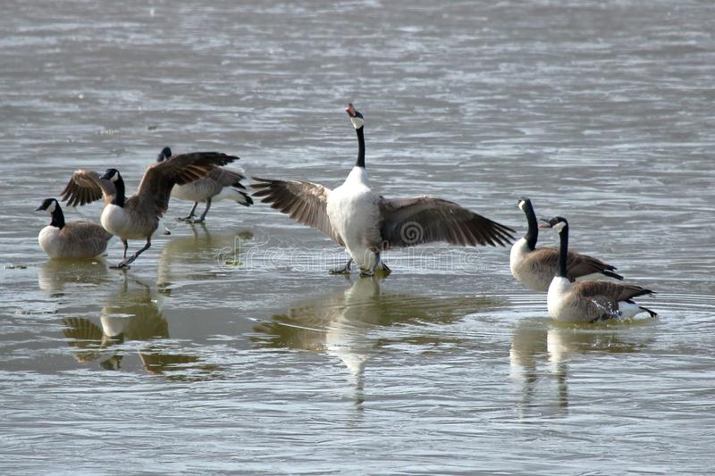 Canadian Goose Choir. A group of Canadian geese honking while walking on an icy lake on a cold spring morning royalty free stock images