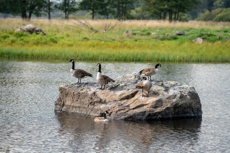 Group of Canadian geese on a large rock in the water. Group of Canadian geese standing on top of a large rock in a lake in Sweden stock photography