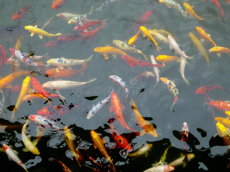 A group of carps in a pond royalty free stock image