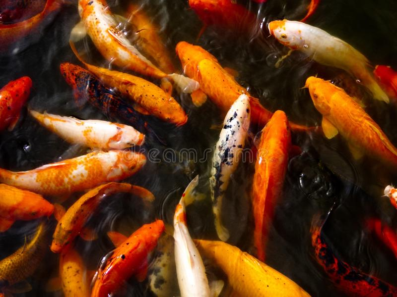A group of carps in a pond royalty free stock photography
