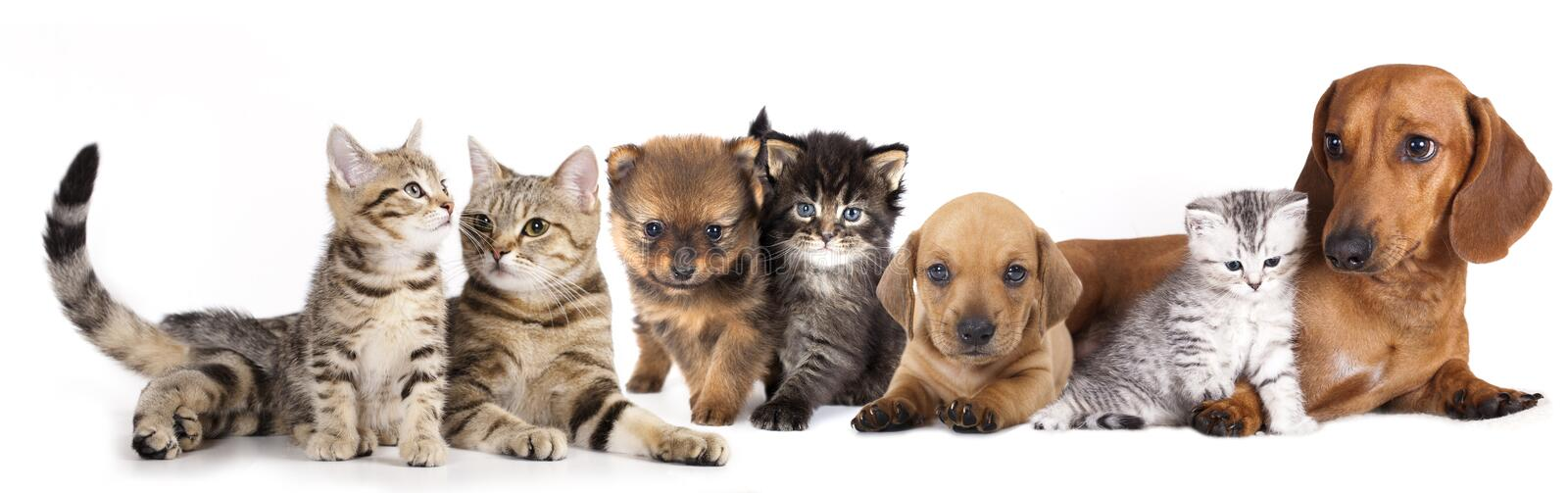 Group of cats and dogs. In front of white background stock photo