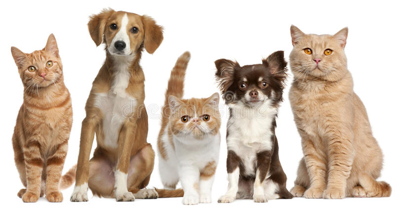 Group of cats and dogs in front of white. Background stock photography