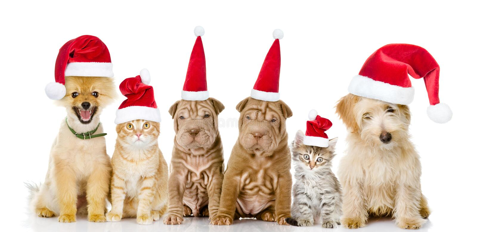Group of cats and dogs in red christmas hats. isolated on white. Background royalty free stock image