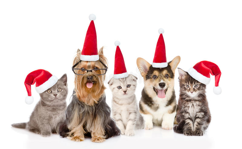 Group cats and dogs in red santa hats looking at camera. together. isolated on white. Group cats and dogs in red santa hats looking at camera. isolated on white royalty free stock images