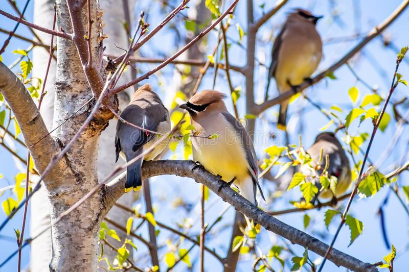 A group of Cedar Waxwing Bombycilla cedrorum sitting in a birch tree on a sunny spring day, San Francisco bay area, California stock image