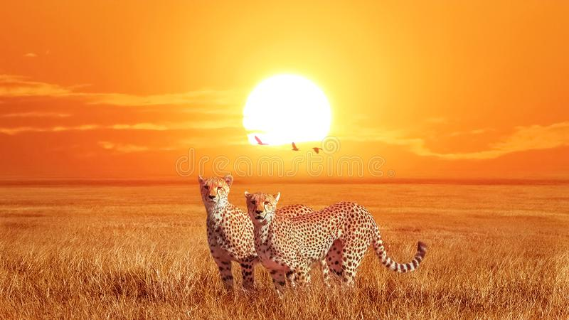 Group of cheetahs at beautiful orange sunset in the Serengeti National Park. Tanzania. Wild nature of Africa. Artistic african ima royalty free stock images