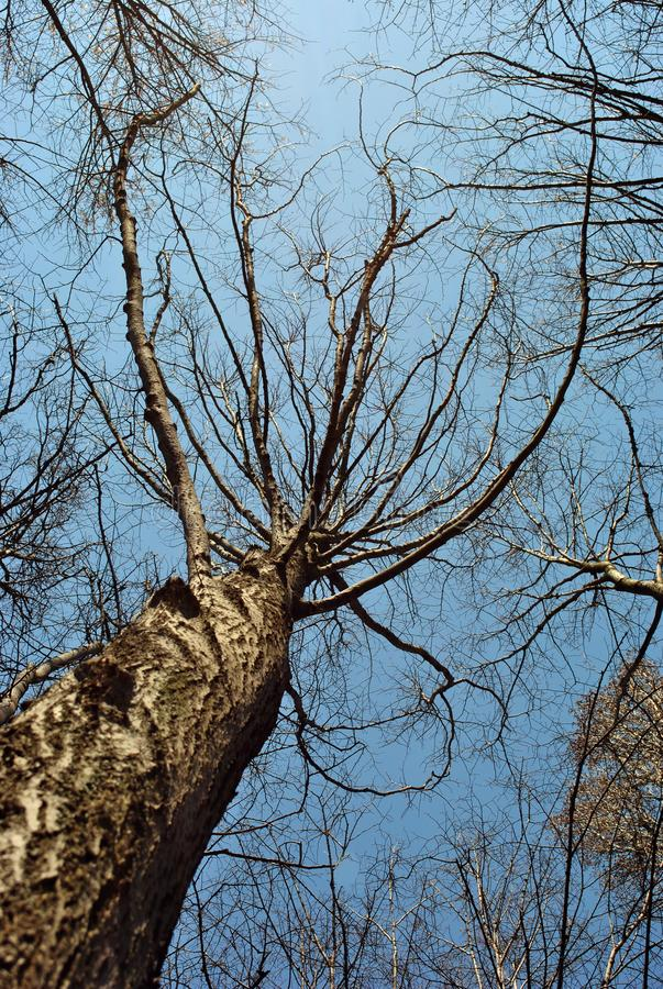 Group of chestnut trees brown trunks texture and branches without leaves on blue spring sky background royalty free stock photo