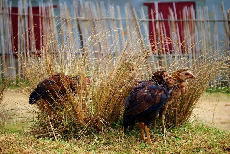 Group of chickens hiding in a tuft of grass. The photo was taken in Montasoa, Madagascar. A group of chickens hiding in a tuft of grass. The photo was taken in stock photography