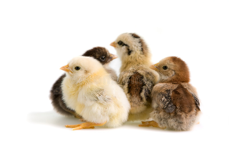 Group of chicks. Group of coloured chicks on white background royalty free stock photos