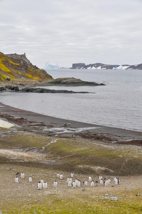 Chinstrap Penguins on the shore of Antarctica. A group of chinstrap penguins gather together on grassy terrain near a black beach that overlooks the Antarctic stock photos