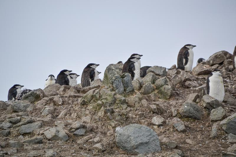 Chinstrap penguins standing on the hillside. A group of chinstrap penguins standing on a rocky hillside of Antarctica stock photos