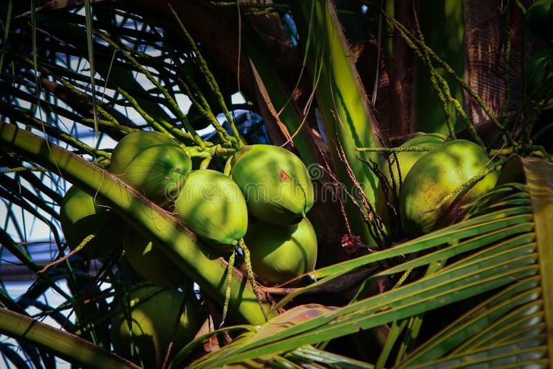 Group of coconut fruit on tree royalty free stock images