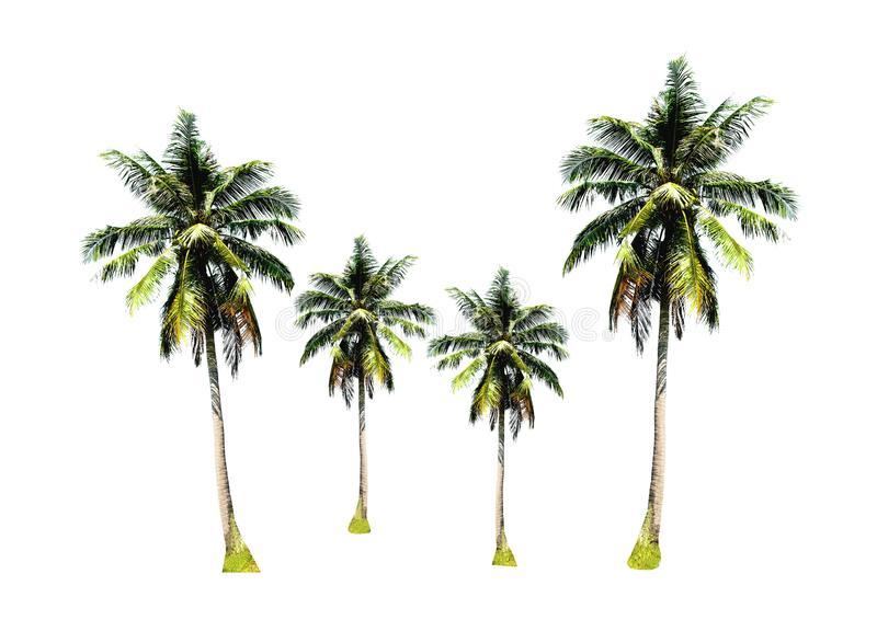 Group of coconut palm trees isolated on white background, tropical fruit growing up on the sea beach at Phuket, south of Thailand royalty free stock image