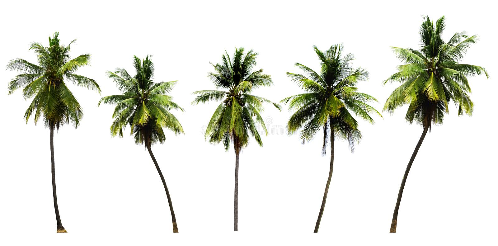 Group of coconut tree  growing up on seabeach ingredients of thai food or drinks isolated on white background. Plant, fruit, oil, milk, water, leaves, trunk royalty free stock images