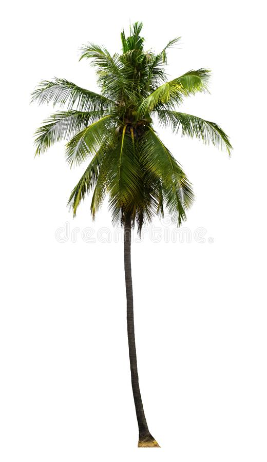 Single coconut tree growing up on seabeach ingredients of thai food or drinks isolated on white background. Group of coconut tree  growing up on seabeach royalty free stock images