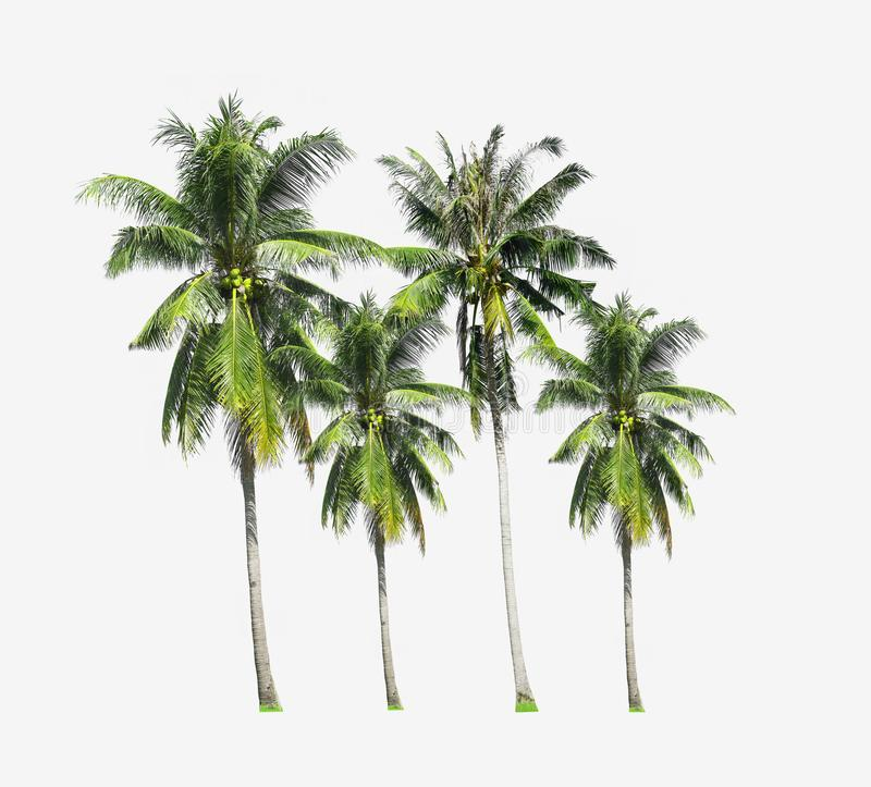 Group of coconut palm trees growing up on the sea beach at Phuket Island south of Thailand isolated on white background. stock image