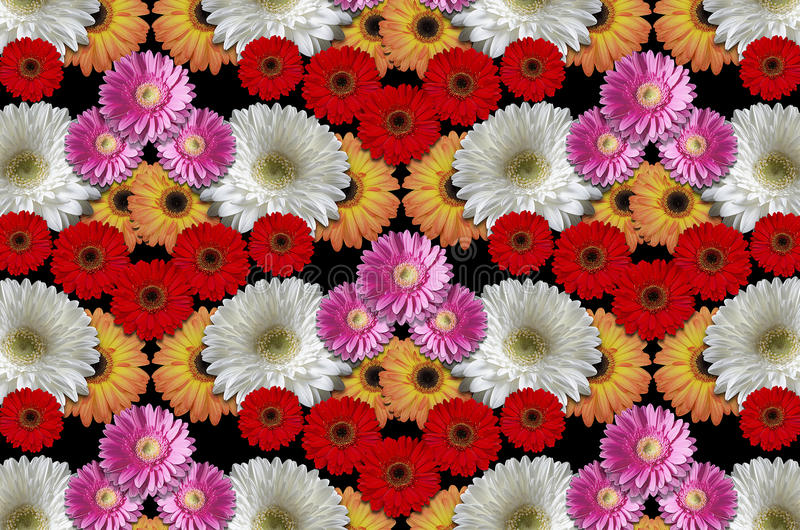 Group colored flowers large daisies on a black background. Abstract mottled backgroundfrom the groupcolored flowers large daisies stock photography