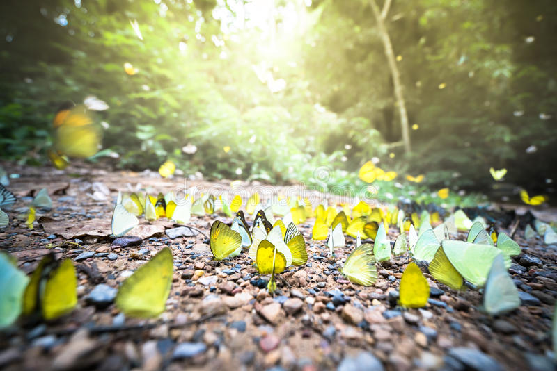 Group of colorful butterflies on ground and flying around in forest, golden twilight sunlight, motion blur and bokeh on foreground. And background royalty free stock photo