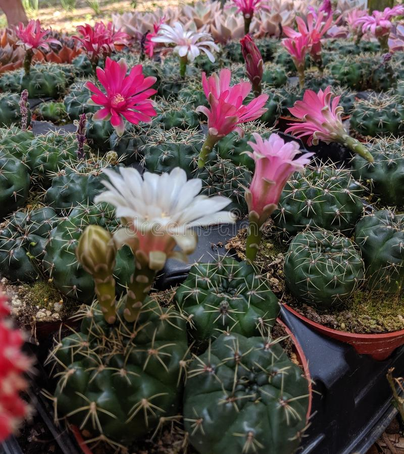 Group of Colorful cactus flowers royalty free stock image