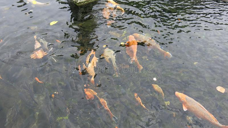 Group of colorful koi carps in pool. Brightly colored fish. Koi fish floats underwater. stock photo