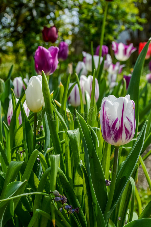 Group of colorful tulips in spring royalty free stock photo
