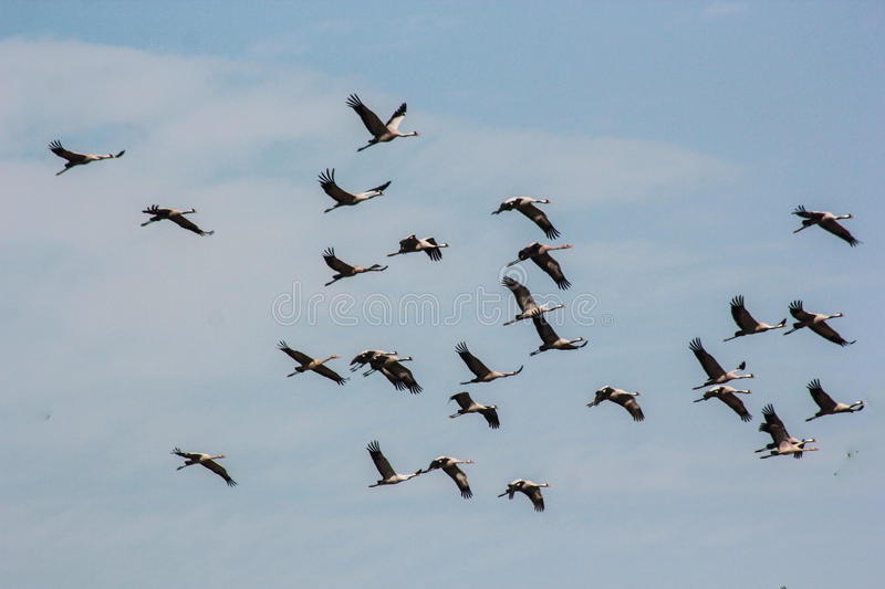 Group of common cranes blue sky flying grus grus. Common cranes also known as Grus grus or Eurasian crane are migratory birds. Every year they travel thousands royalty free stock image