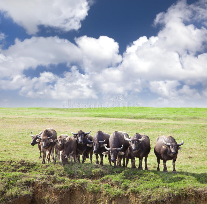Download Group Of Cows Royalty Free Stock Image - Image: 23947256