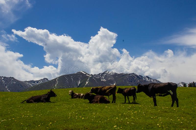 Cow, Mountain, Grass, Wildflowers, royalty free stock photography