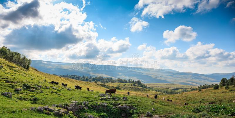 Group of cows graze in green meadow in sunny summer day, livestock farmland in rural mountain landscape. Panoramic photo royalty free stock photography