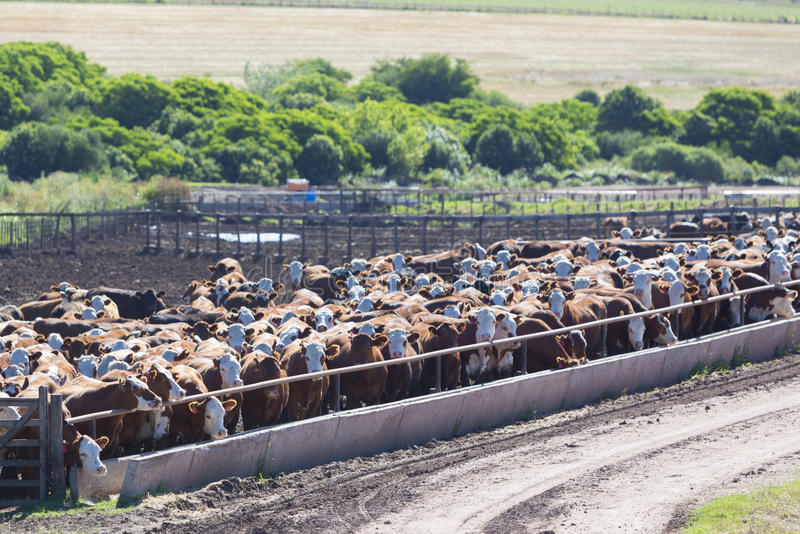 Group of cows in intensive livestock farm land, Uruguay royalty free stock image