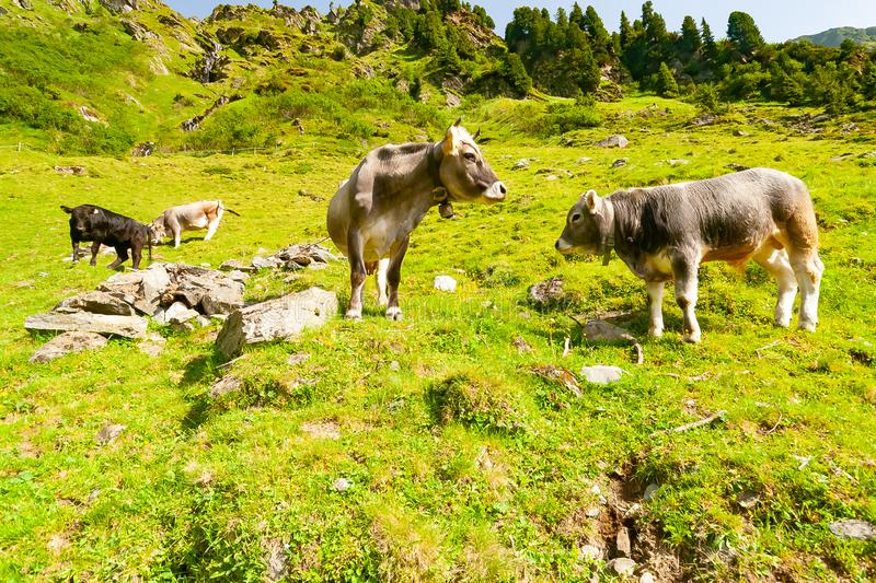 Group of Cows lying on a meadow on the Stubai Valley in Tyrol Alps, Austria stock images