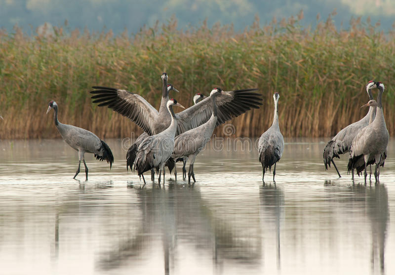 A group of cranes (Grus Grus) in the morning standing in the lak. A group of several adults and one young crane (Grus Grus) standing in a lake in the morning royalty free stock image