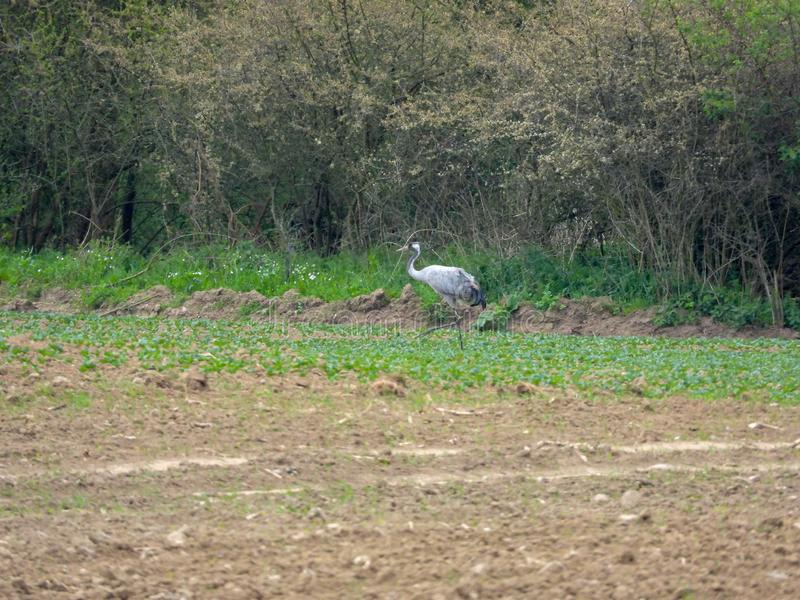 Group of cranes looking for food on a ploughed field stock photos