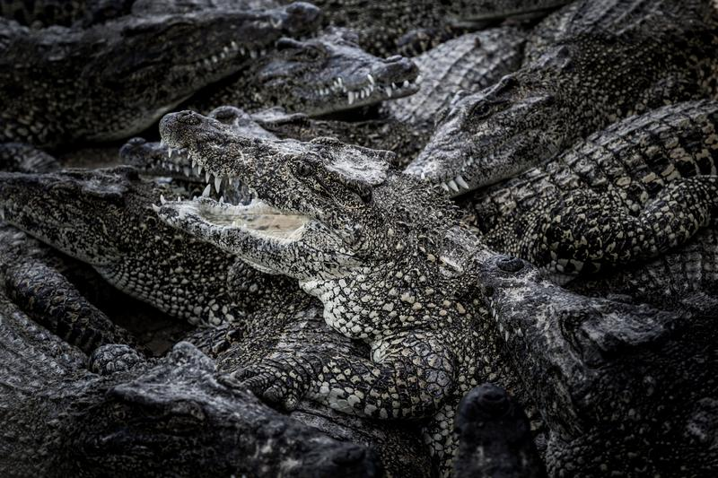 Group of crocodiles stock images