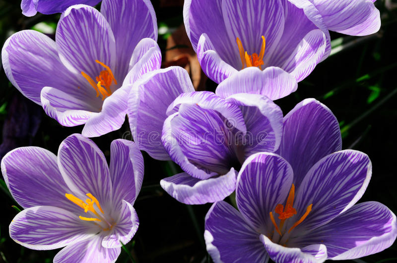 Download A group of crocuses stock photo. Image of purple, botanic - 10594016