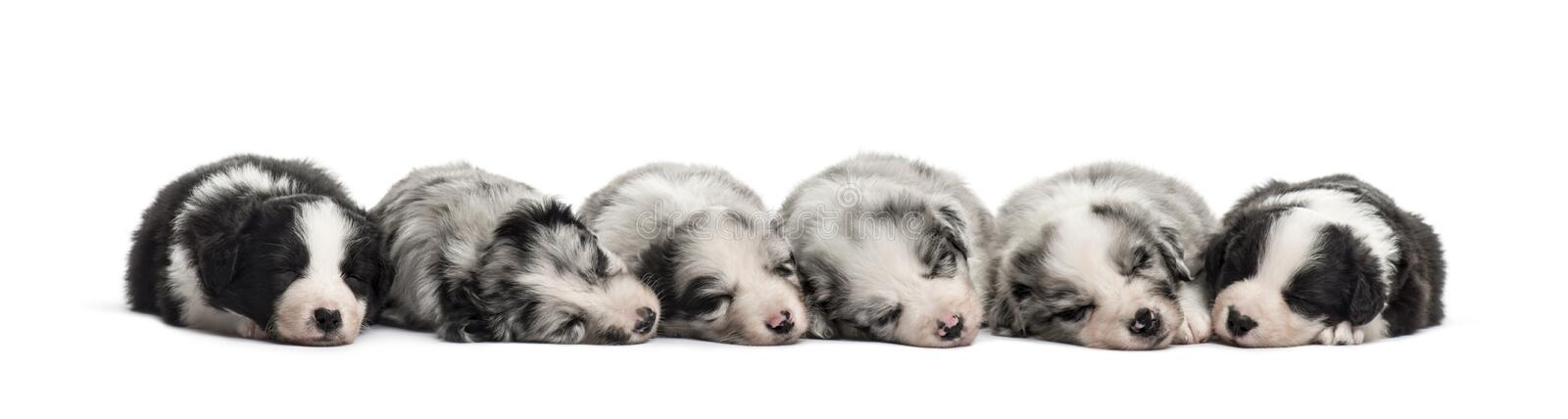 Group of crossbreed puppies sleeping isolated on white. Group of crossbreed puppies sleeping in a row isolated on white royalty free stock photography