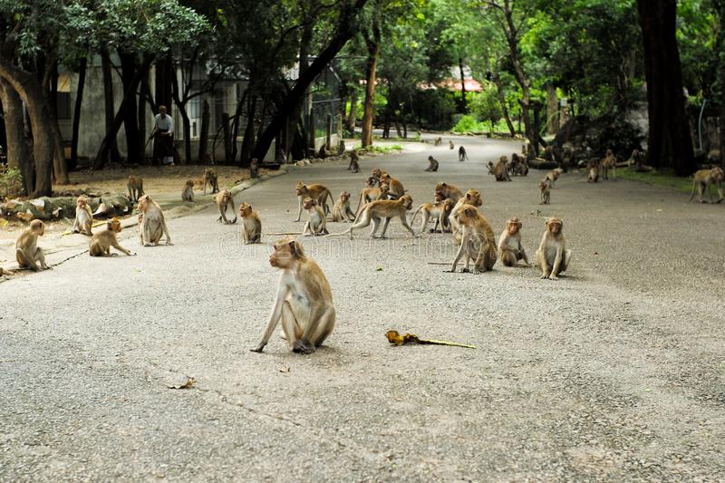 Group of crowded monkey on the cement road at the buddhism temple. In the jungle stock image
