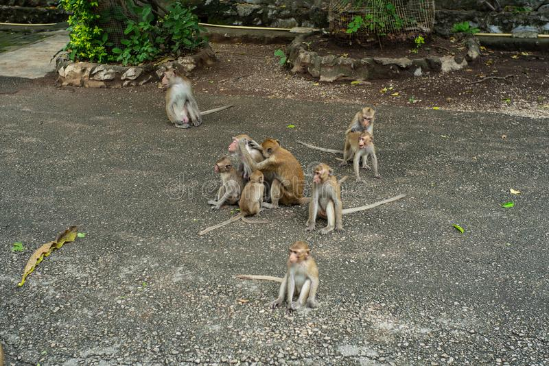 Group of crowded monkey on the cement road at the buddhism temple. In the jungle royalty free stock image