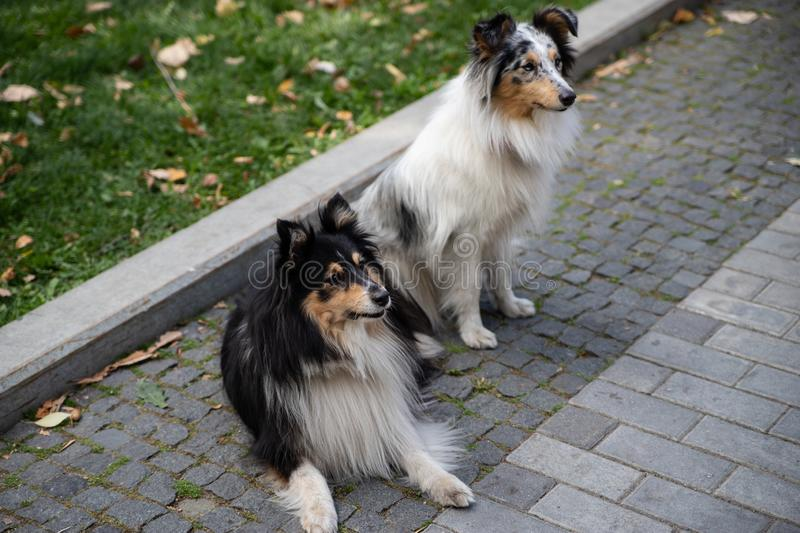 Group of cute black sable white shetland sheepdog. Amazing little collie, lassie pet dogs smiling outside stock photography