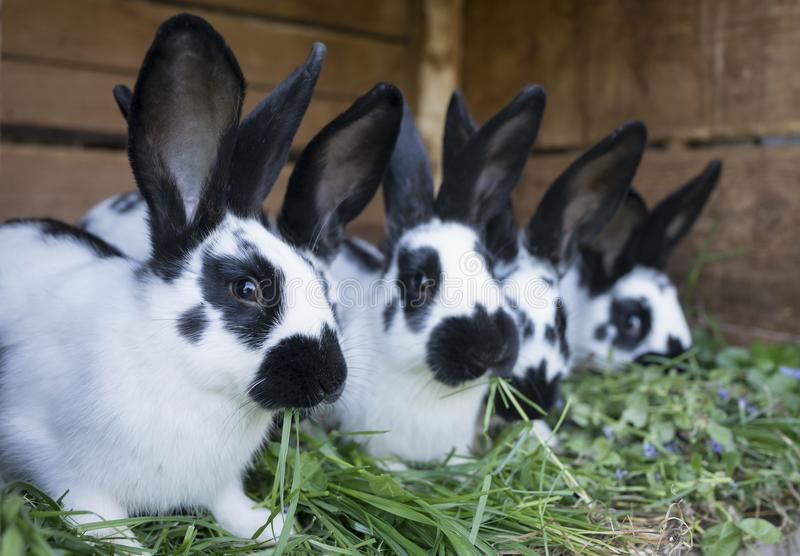 A group cute black and white rabbits stock photo
