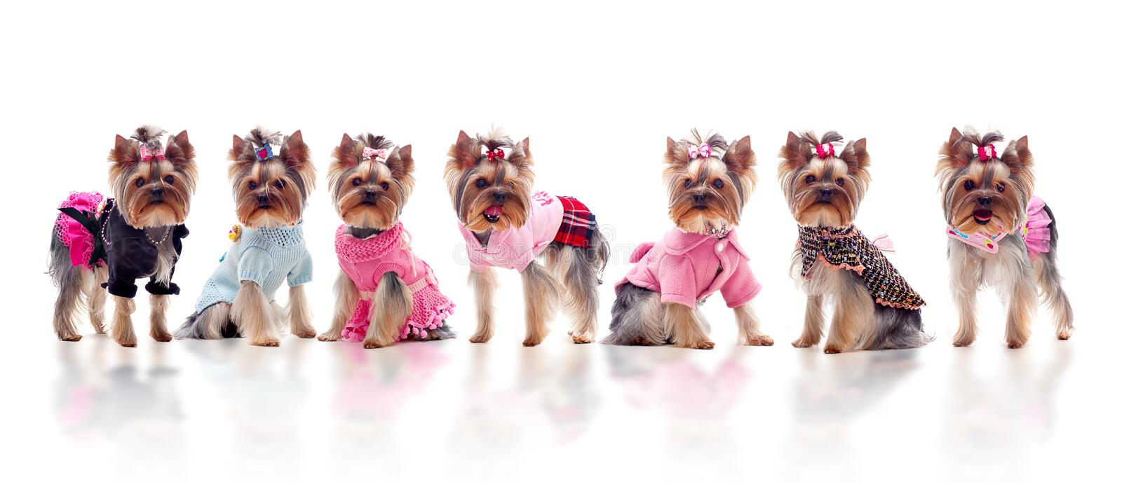 Group of cute dressed yorkshire terriers stock photography