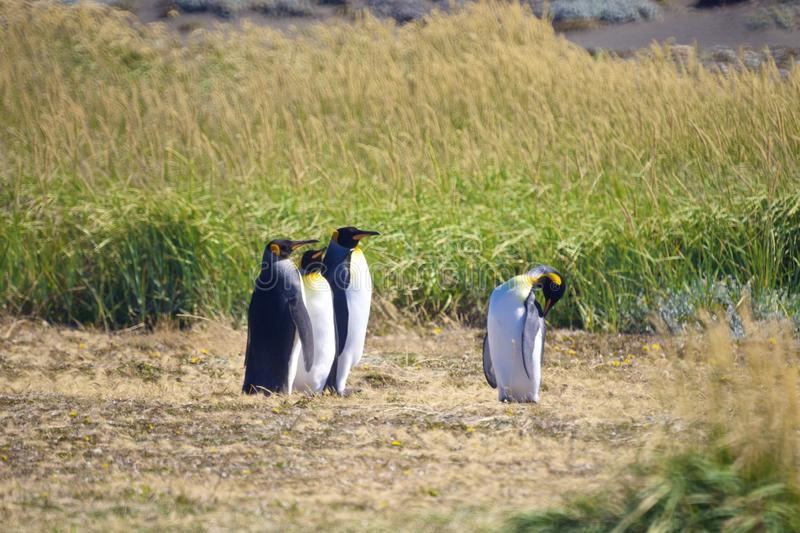 Group of cute Emperor penguins hanging out in the Tierra del Fuego, Patagonia royalty free stock images