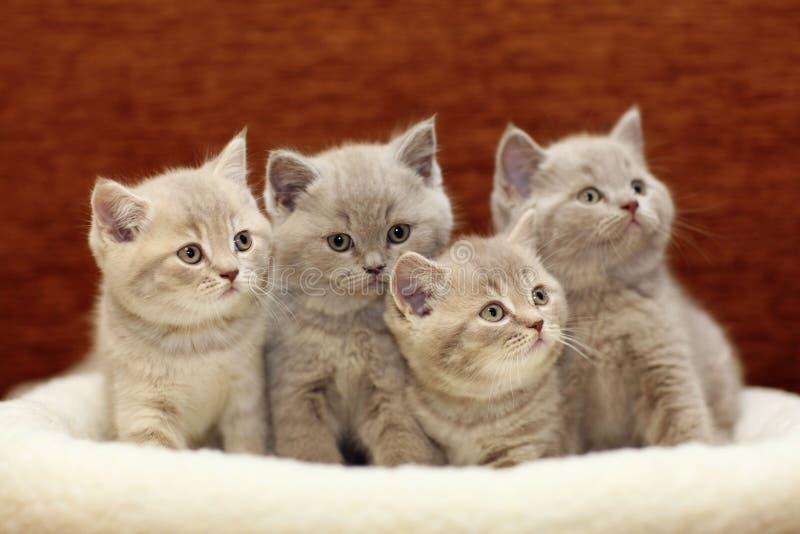 Group of cute gray British royalty free stock photos