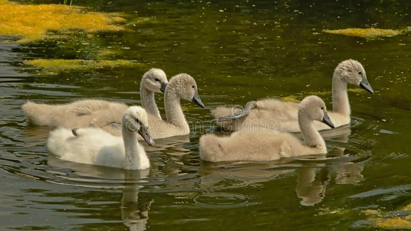 Swan chicks swimming in the pool stock images
