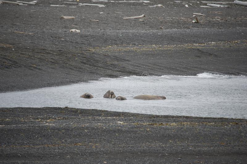 A group of lounging walrus in Arctic. A group of cute walrus lounging and playing in the Arctic stock photo