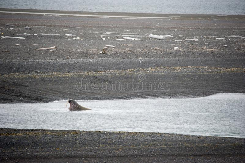 A group of lounging walrus in Arctic. A group of cute walrus lounging and playing in the Arctic royalty free stock photo