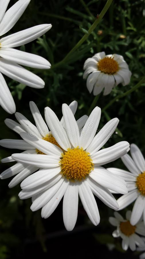 Group of daisies royalty free stock image
